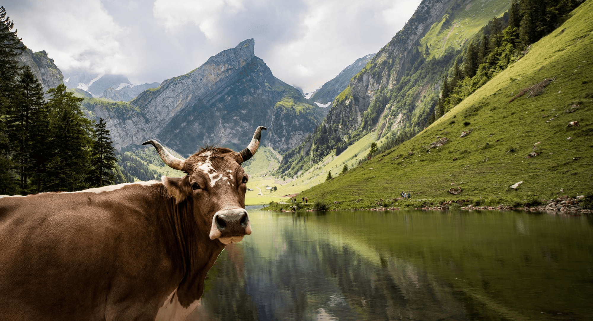 Swiss cow in the mountain meadows